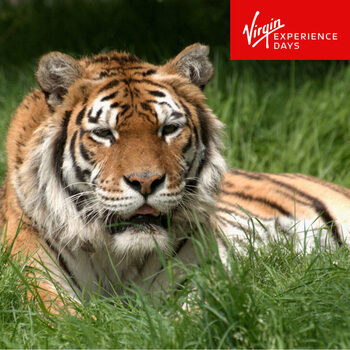 Virgin Experience Days Big Cat Encounter at the Big Cat Sanctuary for One Person (16 Years +)